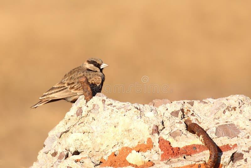 allodola Cinereo-incoronata del passero fotografie stock libere da diritti