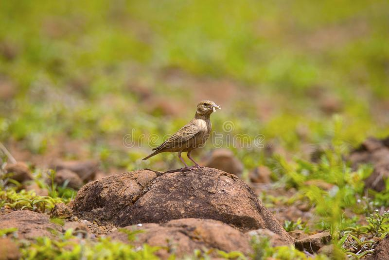 Allodola incoronata cinerea del passero, adulto con l'uccisione - femmina, Supa di griseus di Eremopterix fotografie stock libere da diritti