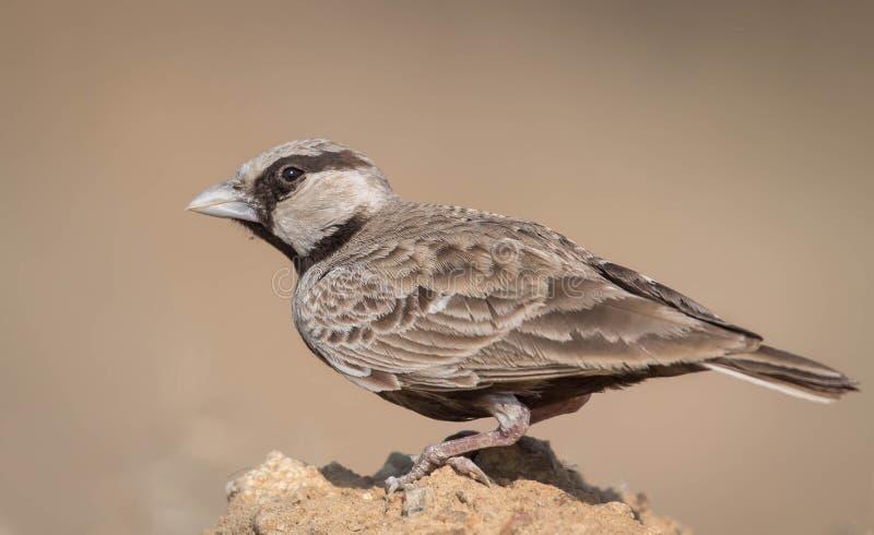 Allodola incoronata cinerea del passero fotografia stock libera da diritti