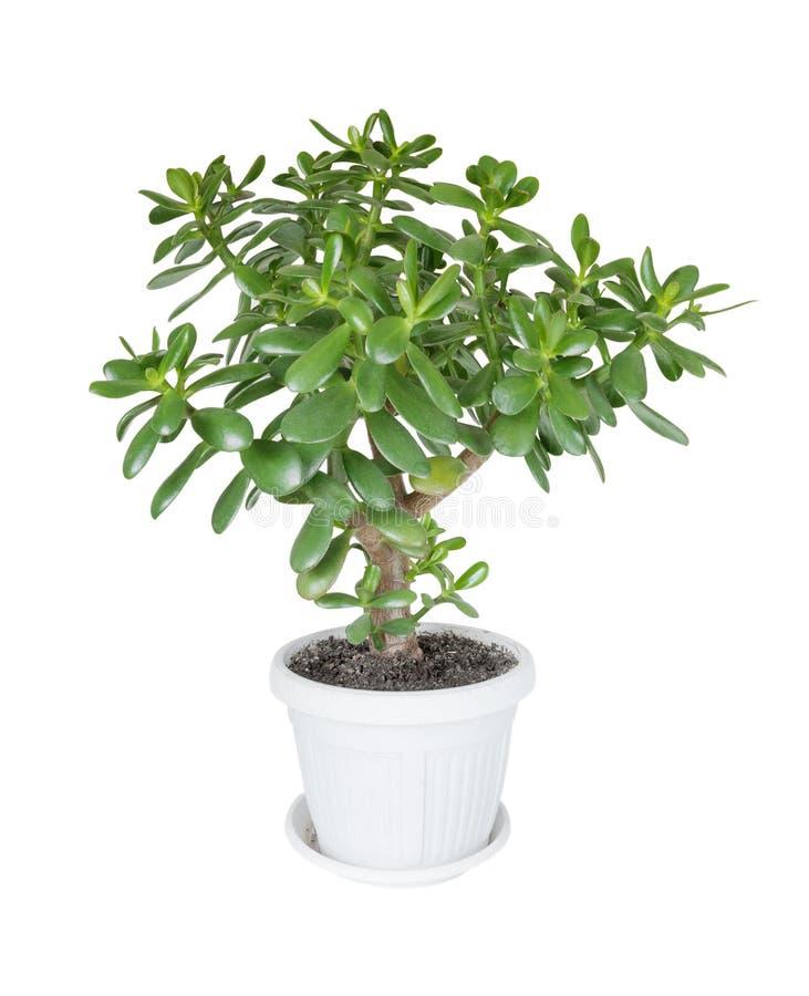 Alloggi l'albero dei soldi della crassula della pianta su un fondo bianco immagini stock