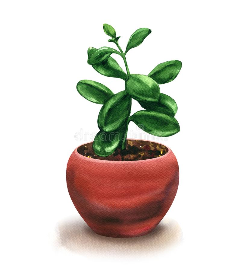 Alloggi la crassula della pianta in vaso isolato, l'albero dei soldi, il succulente del fiore, illustrazione dell'acquerello su b illustrazione vettoriale