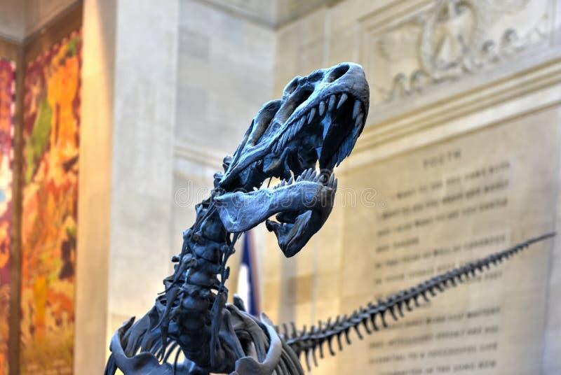 Allosaurus - American Museum of Natural History. New York City - January 31, 2016: Allosaurus in the entrance hall of the American Museum of Natural History in stock image