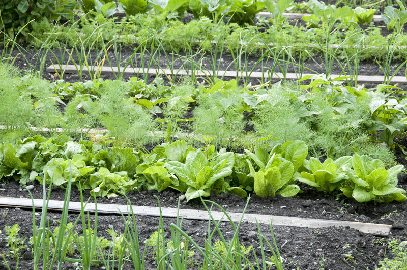 Download Allotment Garden Bed stock photo. Image of green, ground - 12400164