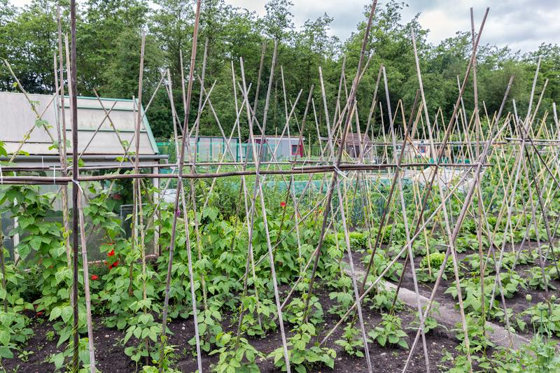 Allotment garden in spring with runner bean canes. Allotment garden in early spring with runner bean canes stock images