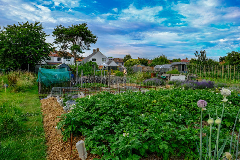 Allotment plot with crop of potatoes and onions in the foreground. royalty free stock images
