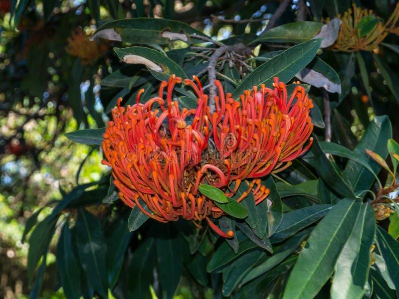 Alloxylon flammeum,一般叫作昆士兰树waratah或红色银桦树与它的红色开花的花在春天 图库摄影