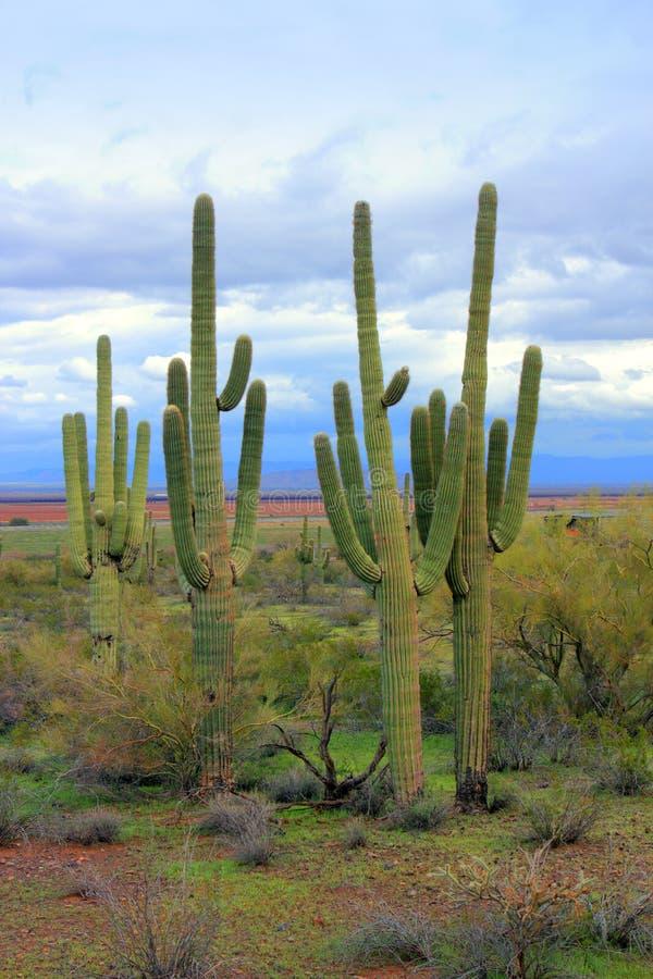 Allsmäktig Saguaro, Arizona öken royaltyfri fotografi