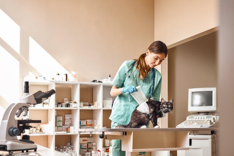 Allt ska vara fint! Ungt kvinnligt förbinda för veterinär tafsar av en stor svart katt som ligger på tabellen i veterinär- klinik royaltyfria foton