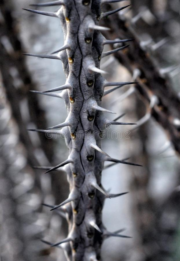 Alluaudia Branch With Spines Free Public Domain Cc0 Image