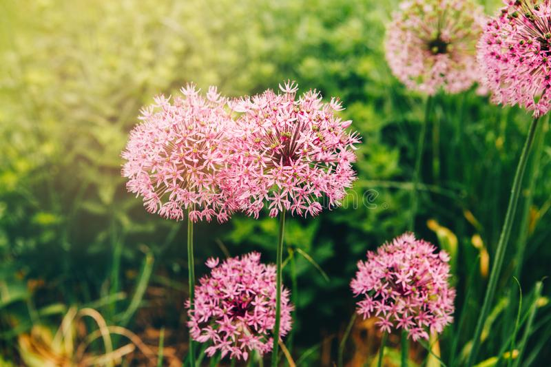 Allum millenium ornamental onion. Rosy purple pink fluffy pretty rounded home flower plant. Field meadow garden with allum millenium ornamental onion. Rosy stock images