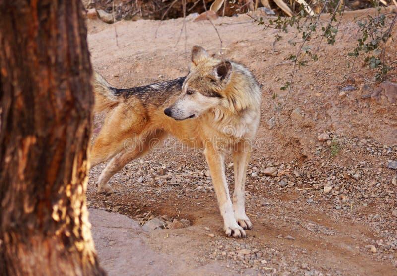 Allungamenti messicani del lupo immagini stock libere da diritti