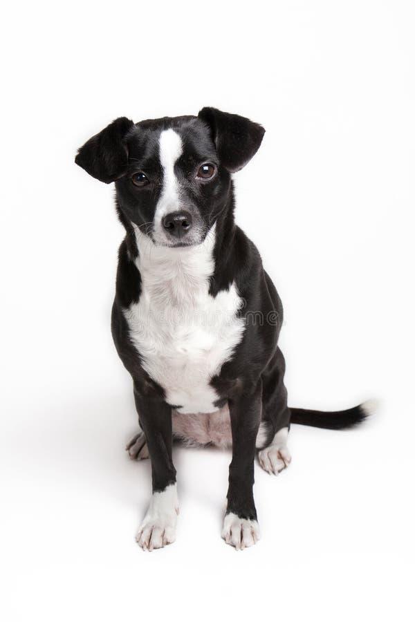 Allvarlig liten älsklings- hund mot vit bakgrund arkivbilder