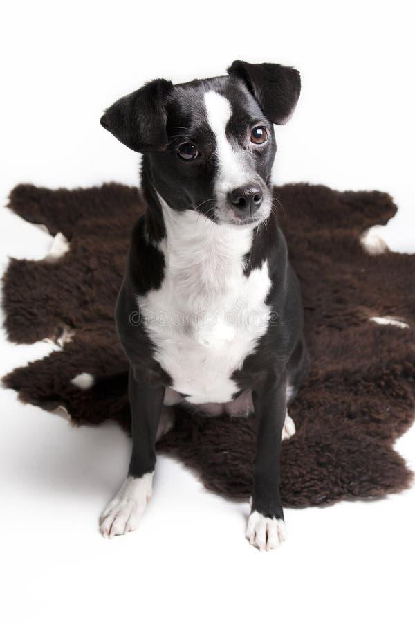 Allvarlig liten älsklings- hund mot vit bakgrund royaltyfri fotografi