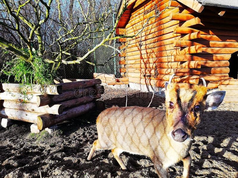 Allvarliga små hjortar efter matställe arkivfoto