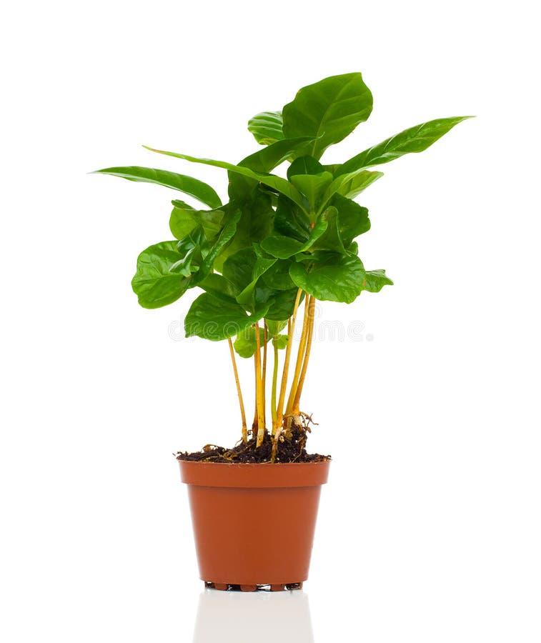 Almácigo creciente del árbol de la planta del café en pila del suelo fotografía de archivo libre de regalías