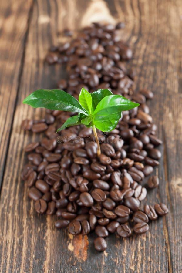 Almácigo de la planta del café en granos de café fotos de archivo