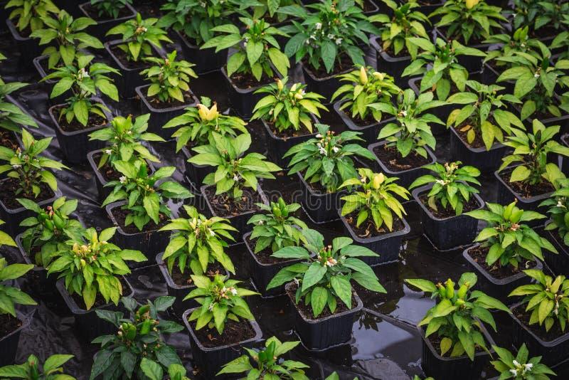 Almácigo De Los Arbustos De Pimienta En Potes Dentro Del