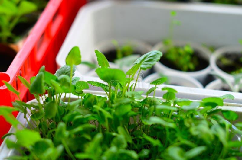 Almácigo de plantas en potes y bandejas en travesaño de la ventana Foco selectivo foto de archivo libre de regalías