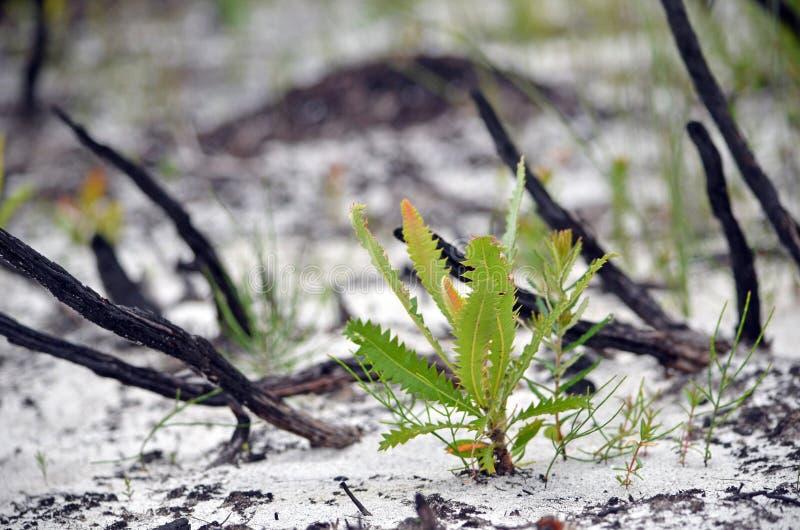 Almácigo del Banksia que regenera en brezo quemado después de bushfire fotos de archivo