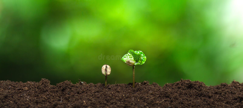 Almácigo del café en planta de la naturaleza un concepto del árbol foto de archivo libre de regalías