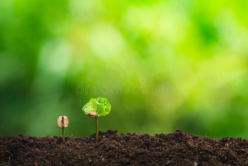 Almácigo del café en planta de la naturaleza un concepto del árbol fotos de archivo