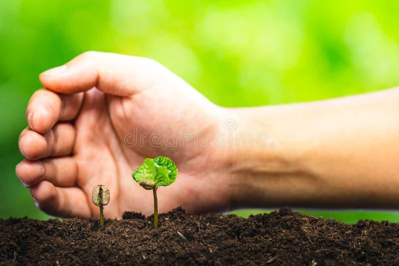 Almácigo del café en planta de la naturaleza un concepto del árbol imágenes de archivo libres de regalías
