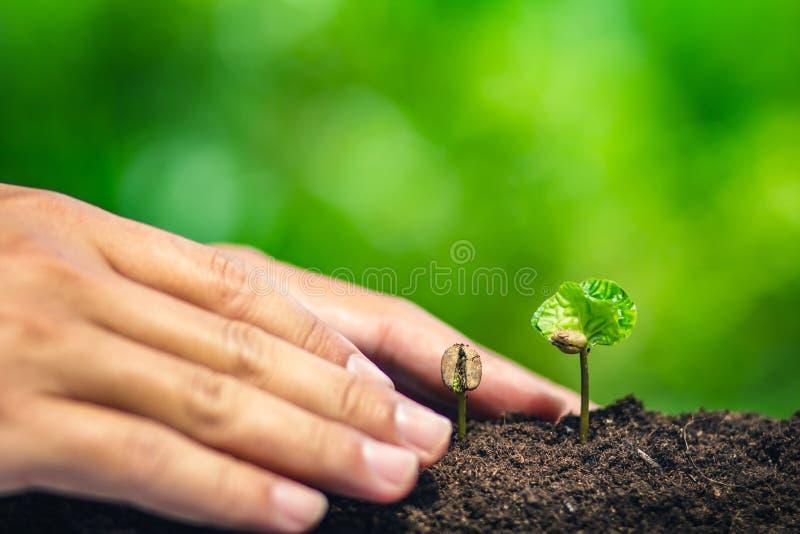 Almácigo del café en planta de la naturaleza un concepto del árbol, mano joven foto de archivo