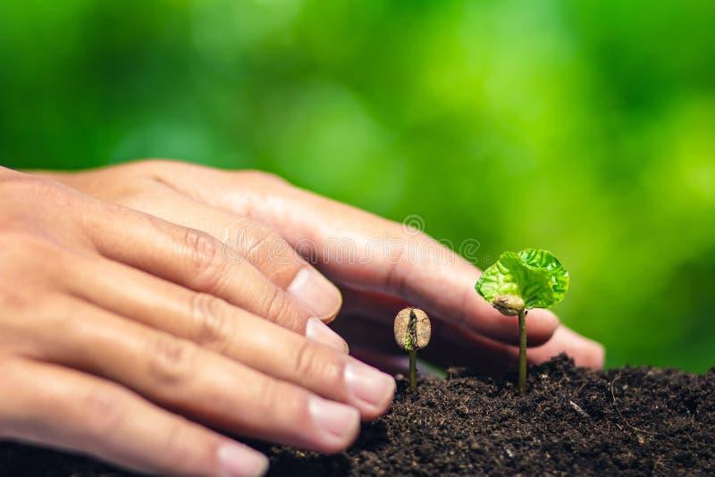 Almácigo del café en planta de la naturaleza un concepto del árbol, mano joven fotos de archivo