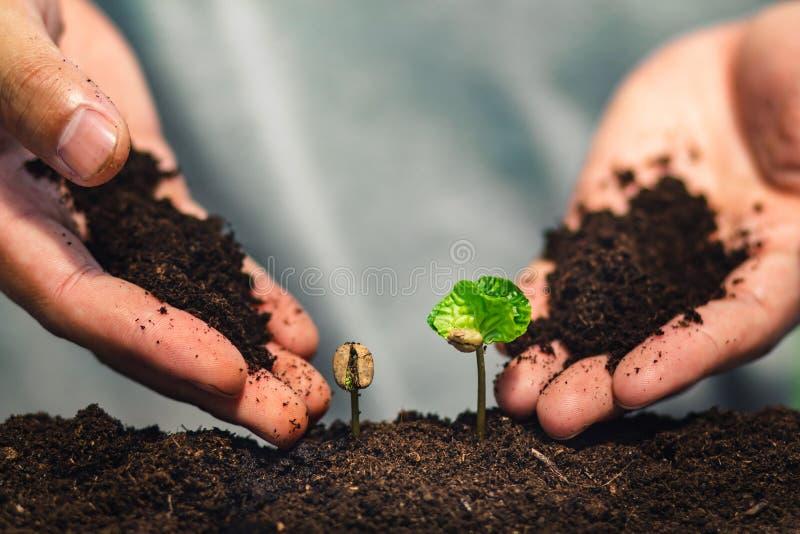 Almácigo del café en planta de la naturaleza un concepto del árbol, mano joven fotos de archivo libres de regalías