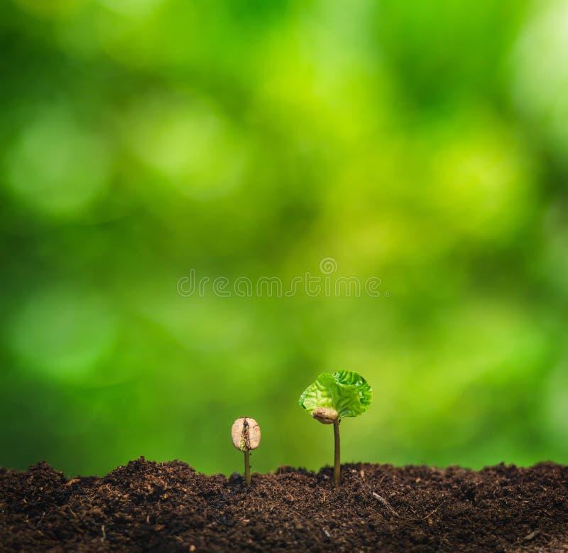 Almácigo del café en planta de la naturaleza un concepto del árbol, mano joven fotografía de archivo