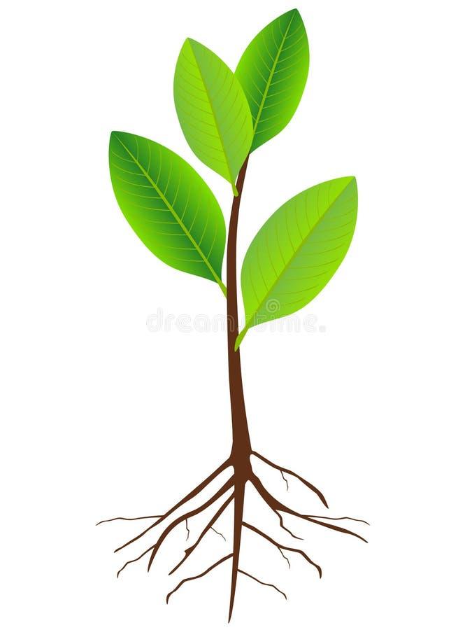 Almácigo grandiflora de la magnolia con las raíces aisladas en el fondo blanco stock de ilustración