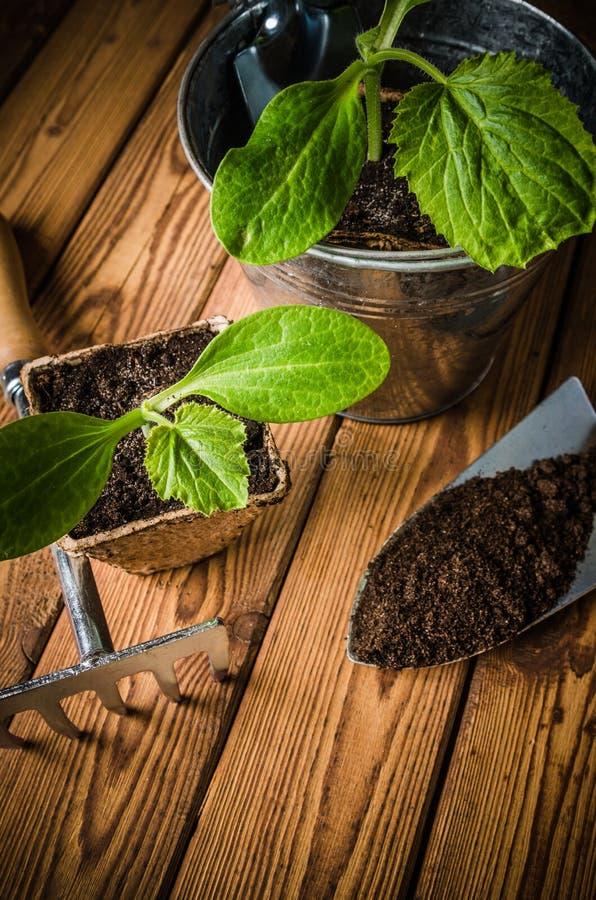 Almácigo y utensilios de jardinería, primer del calabacín imagen de archivo libre de regalías