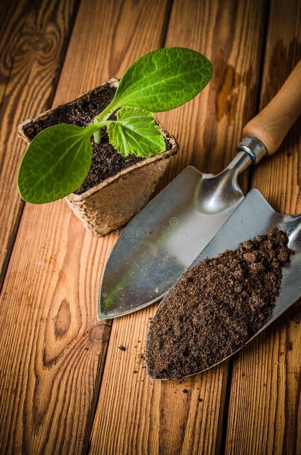 Almácigo y utensilios de jardinería, primer del calabacín imagen de archivo