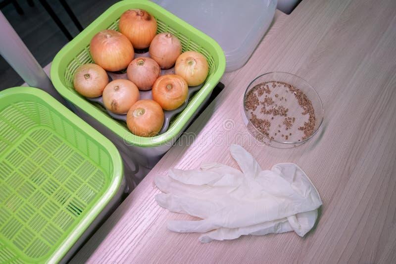 Almácigos de la cebolla en un envase verde, semillas de hinojo y guantes blancos en una tabla de madera hydroponics El método de  imagen de archivo