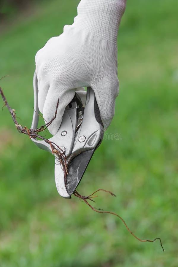 Almácigos de la raíz de la poda antes de plantar foto de archivo libre de regalías