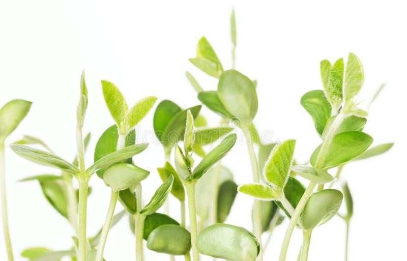 Almácigos de la soja en el fondo blanco imagen de archivo