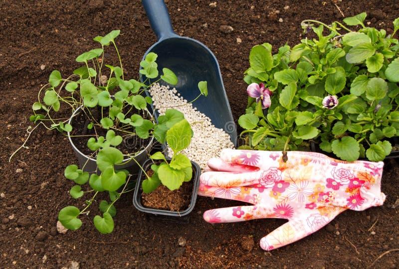 Almácigos de las flores Astra y de la viola en el fondo del suelo y de los fertilizantes fotografía de archivo libre de regalías