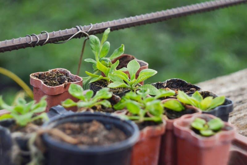 Almácigos de las plantas de jardín El concepto de cultivar un huerto y de cultivar un huerto, plantando las flores, almácigos, ec fotos de archivo