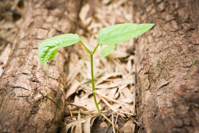 Download Almácigos De Los árboles De Goma Foto de archivo - Imagen de crecimiento, concepto: 42429376