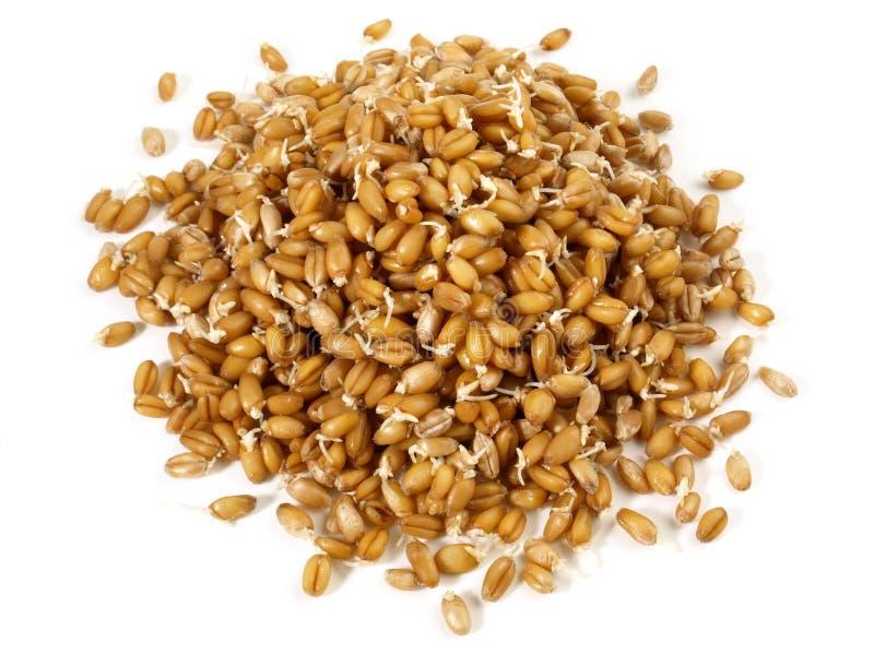 Almácigos de Wheatgrass - nutrición sana imagenes de archivo