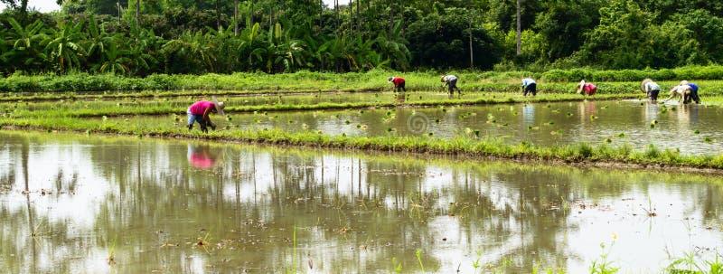 Almácigos del arroz del trasplante del granjero en campo en rural fotos de archivo libres de regalías