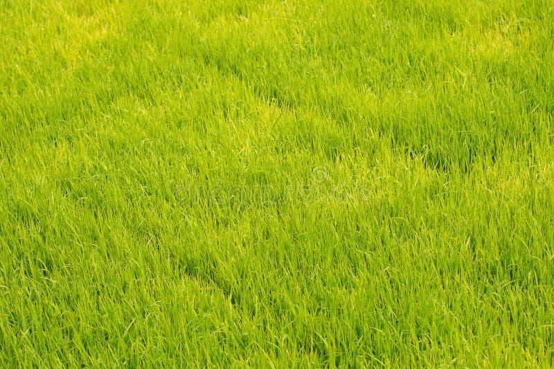 Almácigos del arroz en campos del arroz el arroz del oung está creciendo en el p fotos de archivo libres de regalías