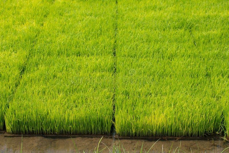 Almácigos del arroz en campos del arroz el arroz del oung está creciendo en el p imagenes de archivo