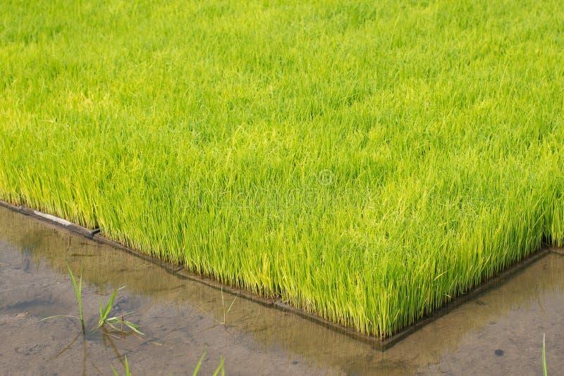 Almácigos del arroz en campos del arroz el arroz del oung está creciendo en el p foto de archivo libre de regalías