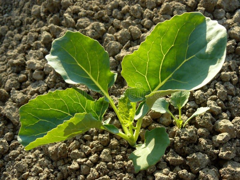 Almácigos del bróculi imagen de archivo