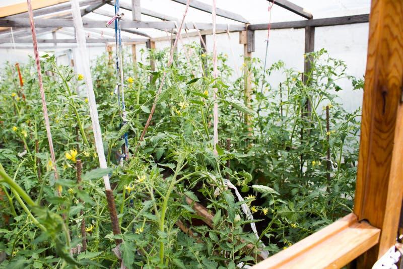 Almácigos del crecimiento de los tomates foto de archivo