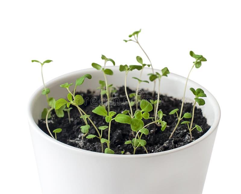 Almácigos del majorana del Origanum de la mejorana en el pote blanco hierba perenne viejo-sensible con sabores dulces del pino y  fotos de archivo libres de regalías