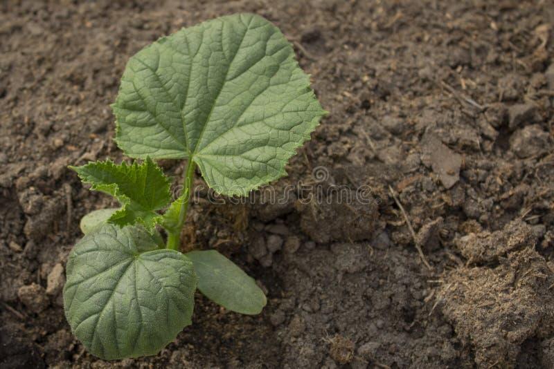 Alm?cigos del pepino, lanzamientos jovenes que crecen en el campo abierto Nuevo concepto de vida Agricultura en la primavera Copi fotografía de archivo libre de regalías