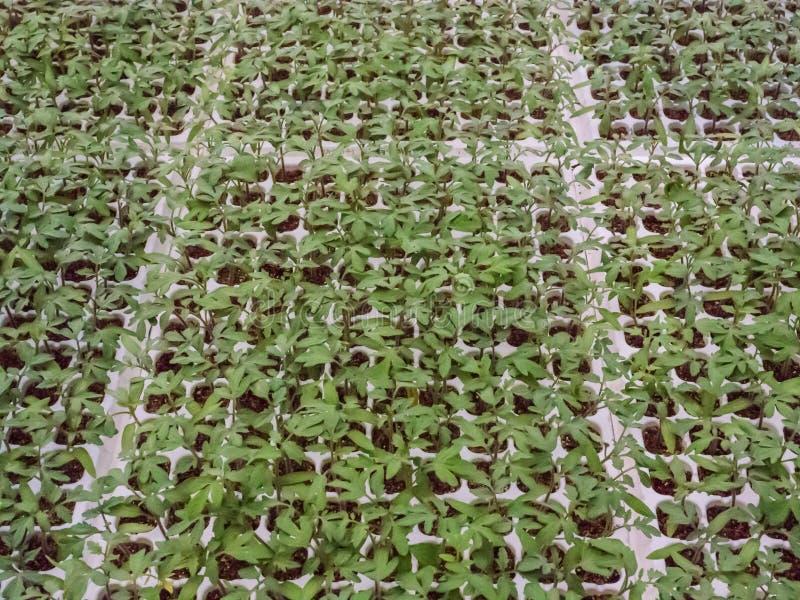 Almácigos del tomate del cuarto de niños en suelo del musgo de turba foto de archivo