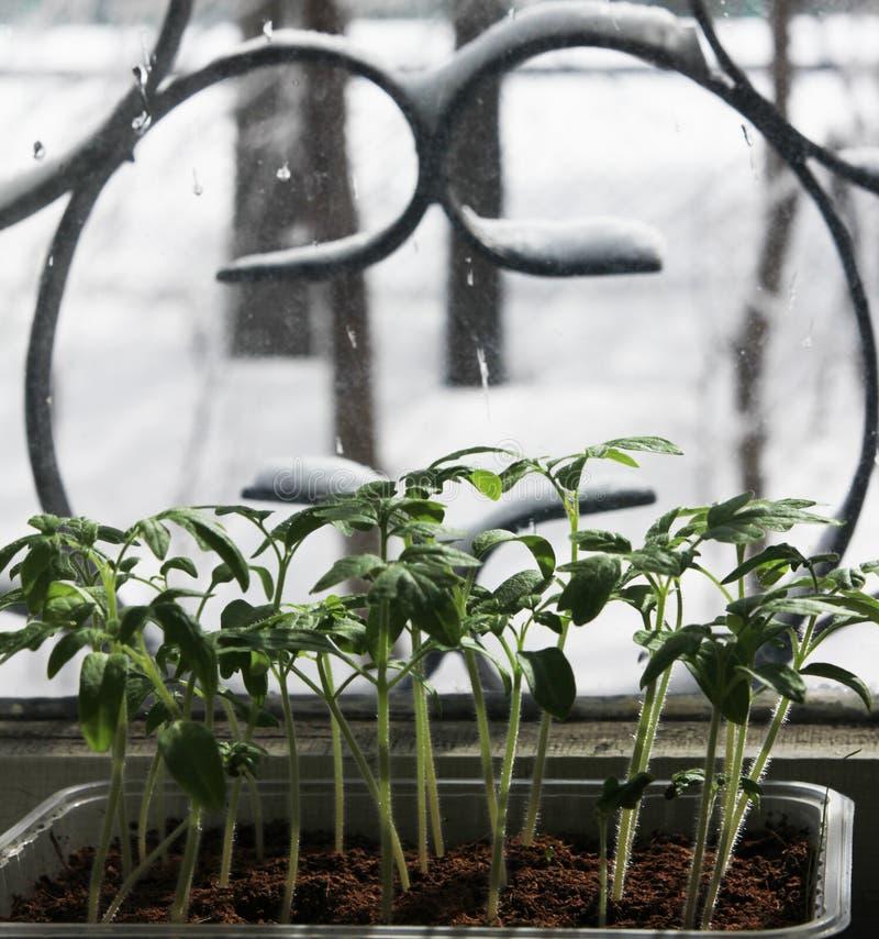 Almácigos del tomate en el alféizar fotos de archivo